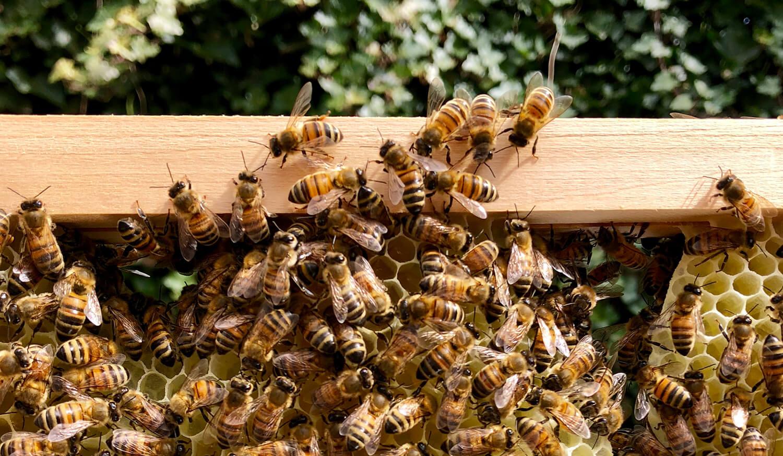 Bienenvolk - Bienen bauen Wabe