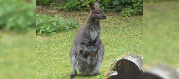 Tierpark Fauna Solingen - Känguru mit Baby