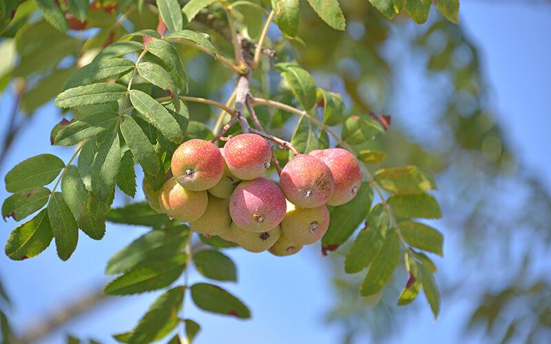 Speierling Früchte