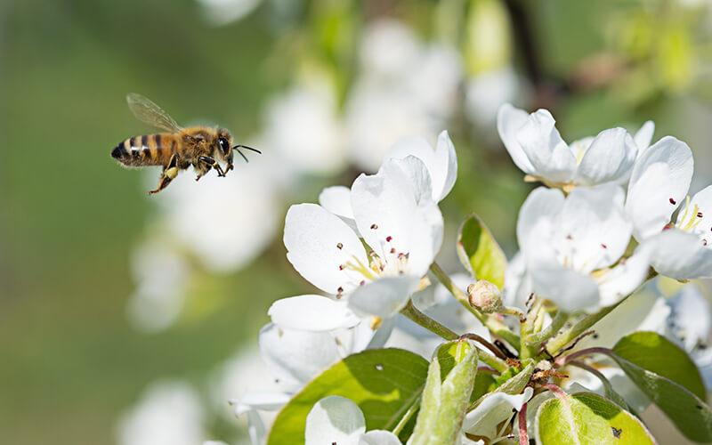 Wildkirsche Biene